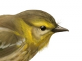 scientific_capemaywarbler