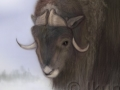 scientific_muskox