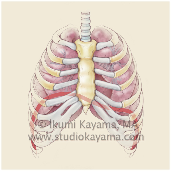 Studio Kayama Human Lung Medical Illustration Studio Kayama