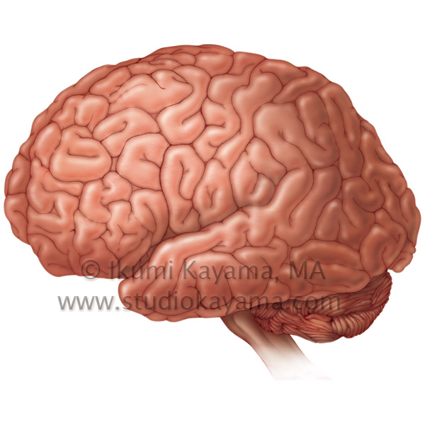 studio kayama :human brain illustration - medicalart by studio kayama, Muscles