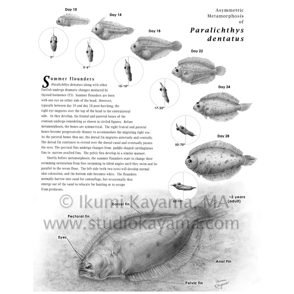 studio kayama  asymmetric metamorphosis of flounder