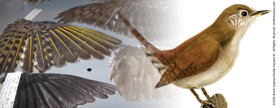 Scientific Illustration before and after: From collections to a lively bird