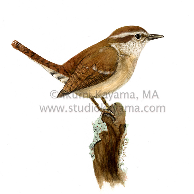 Carolina Wren Scientific Illustration