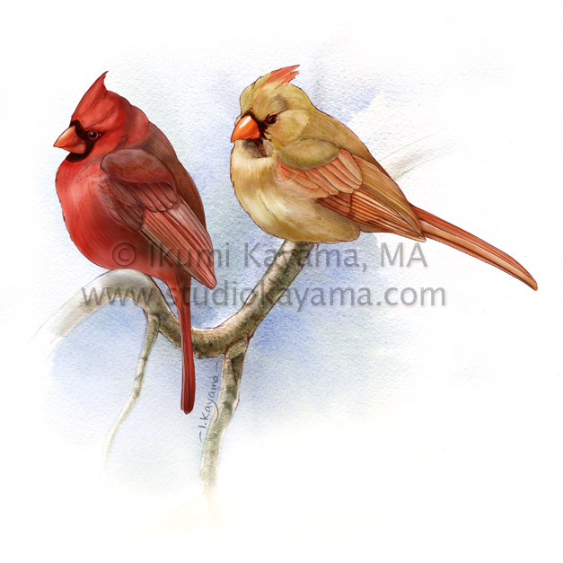 Male and female northern cardinals, Cardinalis cardinalis