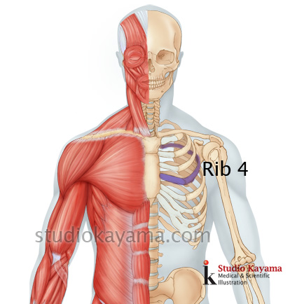 4thRib