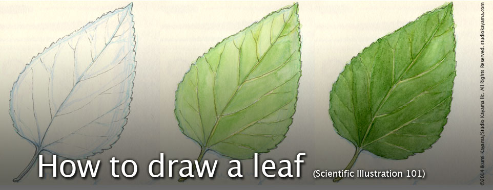 Studio Kayama :Scientific Illustration 101: How to Draw a ...